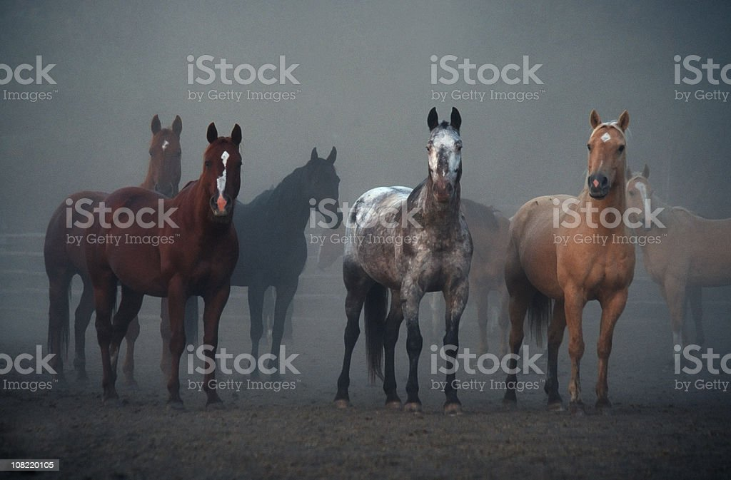 Horses, Ears Pointing Forward, Animal, Equestrian, Morning, Foggy, Outdoors stock photo
