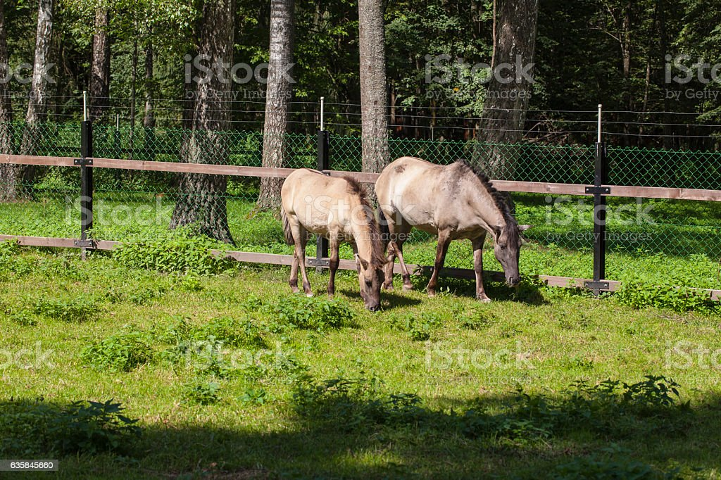horses eat grass, Bialowieza National Park stock photo