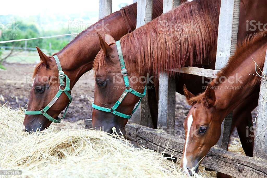 Horses eating grass behind old wooden fence stock photo