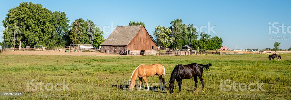 Horses feeding in a field with an old barn stock photo