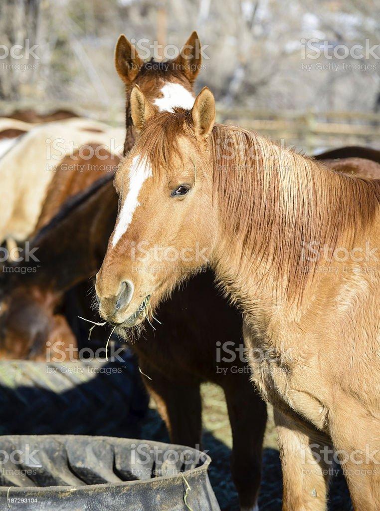 Horses Feeding royalty-free stock photo