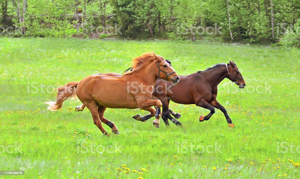 Horses gallop stock photo