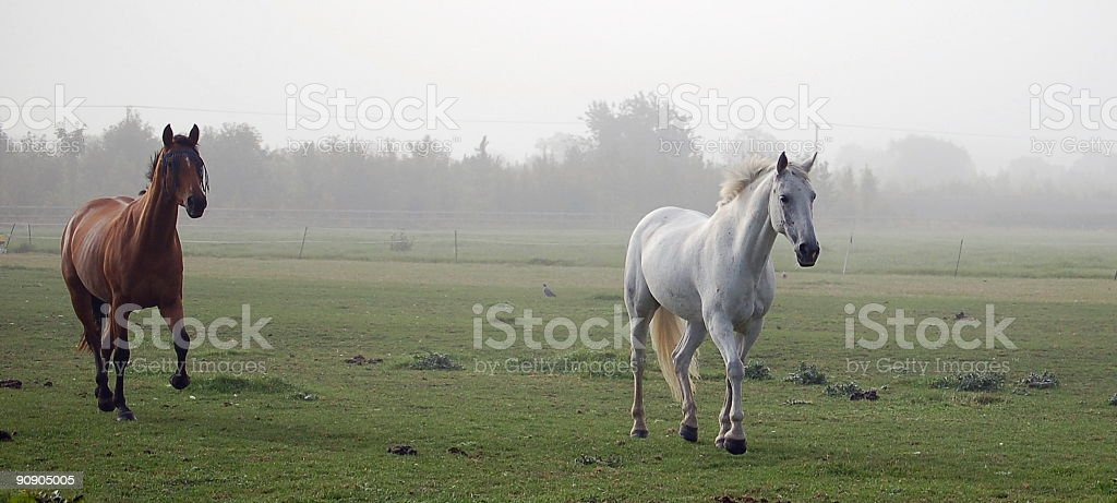 Horses galloping on a foggy day royalty-free stock photo