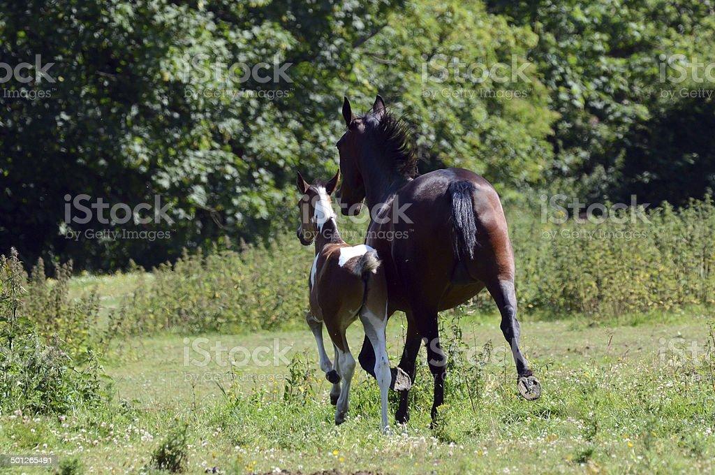 Horses Galloping royalty-free stock photo
