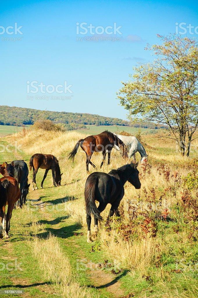 horses graze on green meadow stock photo