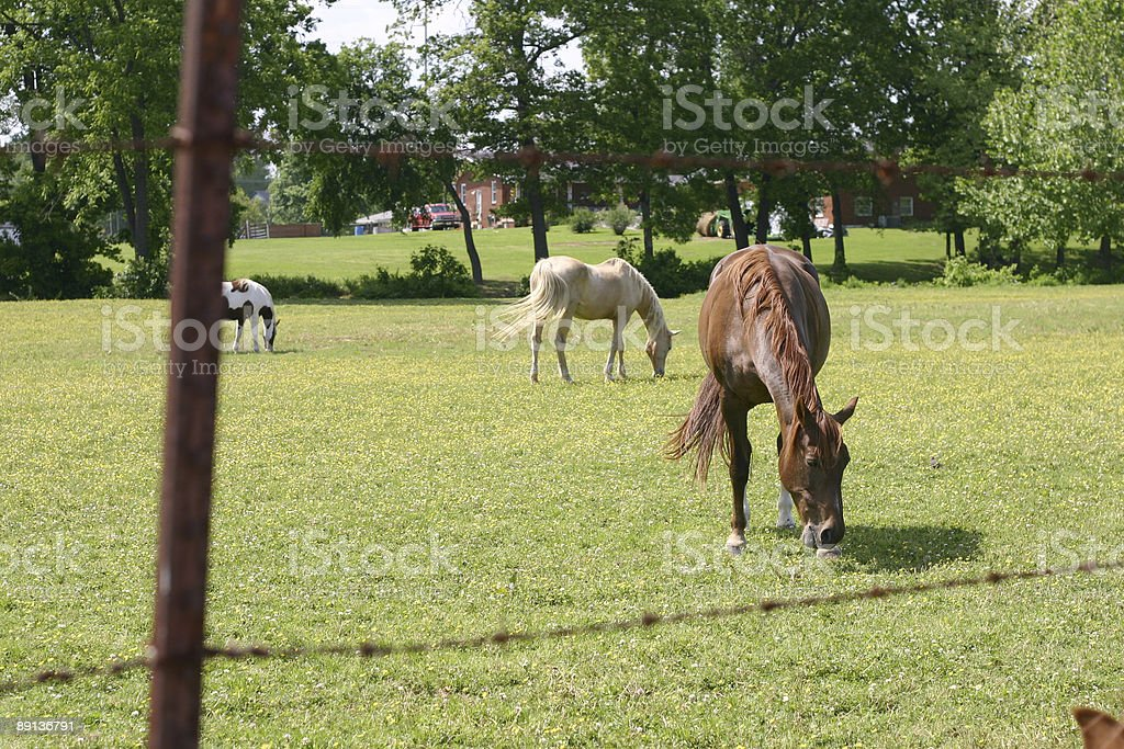 horses grazing in a field stock photo
