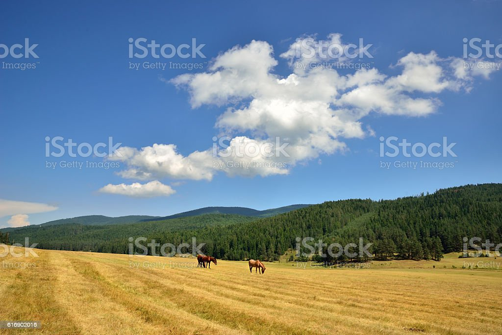 Horses grazing in a fields stock photo