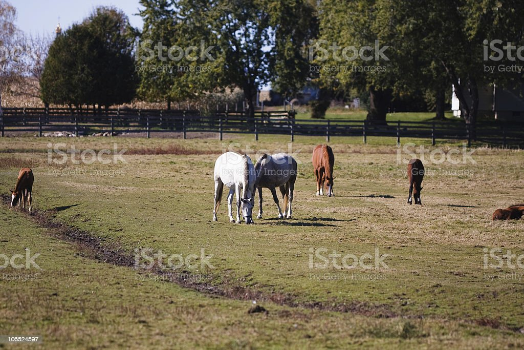 Horses grazing in a meadow stock photo