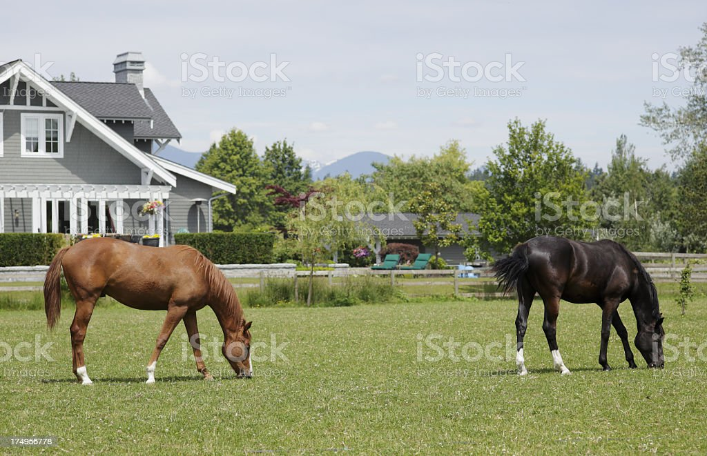 Horses grazing in a park in Vancouver, Canada stock photo