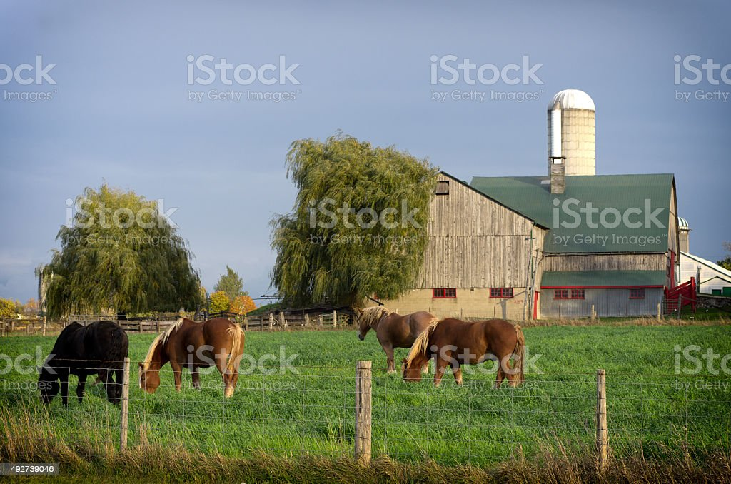 Horses Grazing in a Pasture near a Wood Barn stock photo