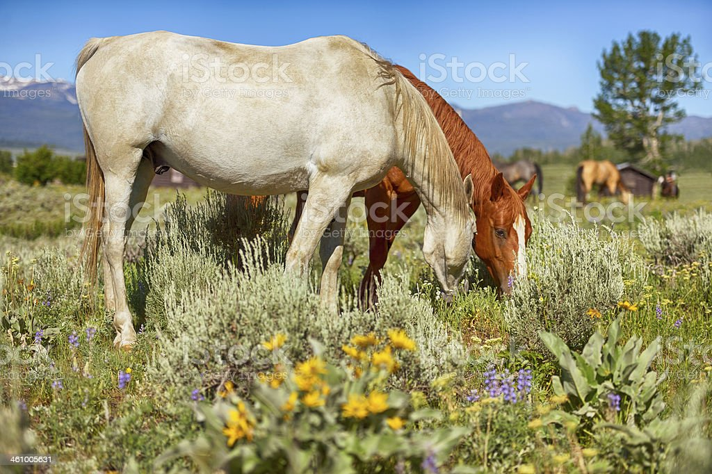 Horses Grazing In Montana Big Sky Country royalty-free stock photo