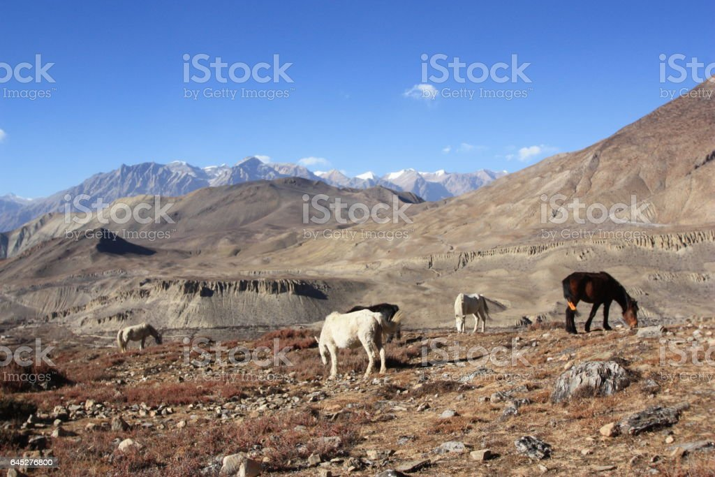 Horses Grazing in Muktinath stock photo
