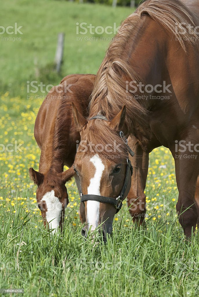 Horses Grazing in Spring Buttercup Field, Mare and Foal stock photo