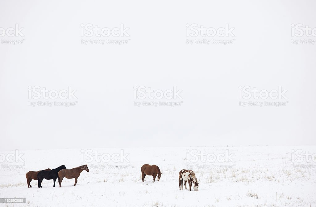 Horses Grazing in Winter royalty-free stock photo