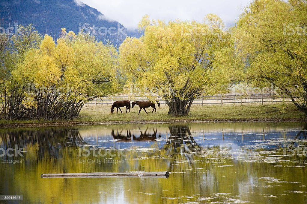 Horses grazing near pond stock photo