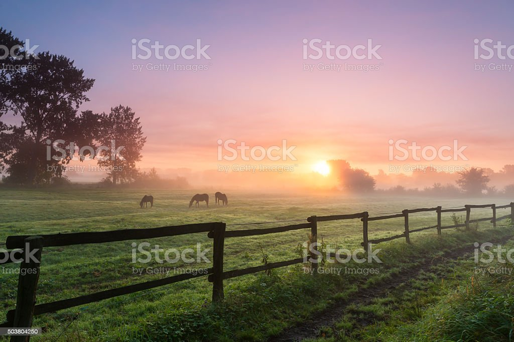 Horses grazing the grass on a foggy morning stock photo