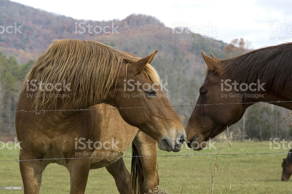 Horses greet each other in Tennessee pasture royalty-free stock photo