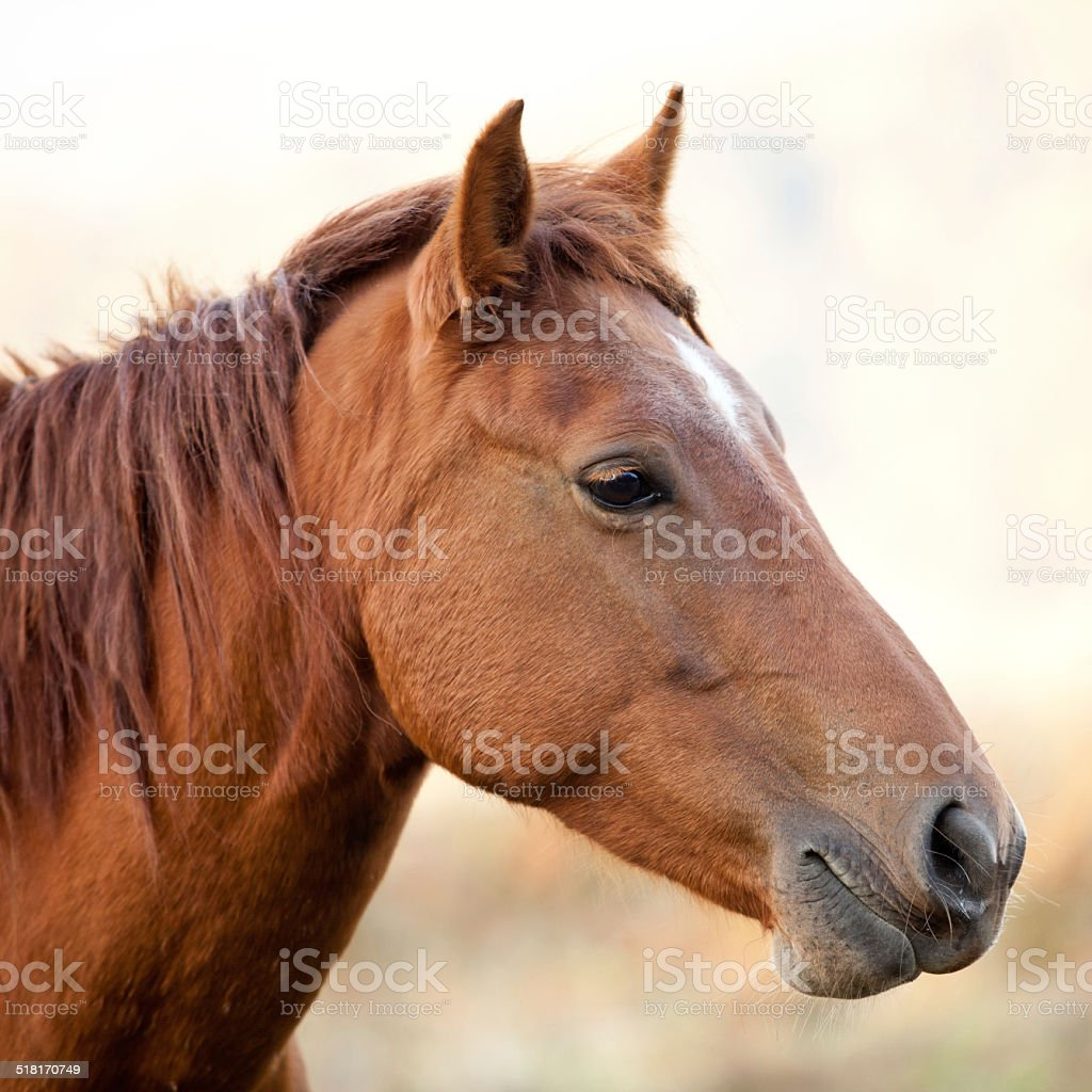 Horses head isolated by sunset stock photo