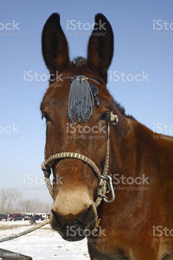 horse's head royalty-free stock photo