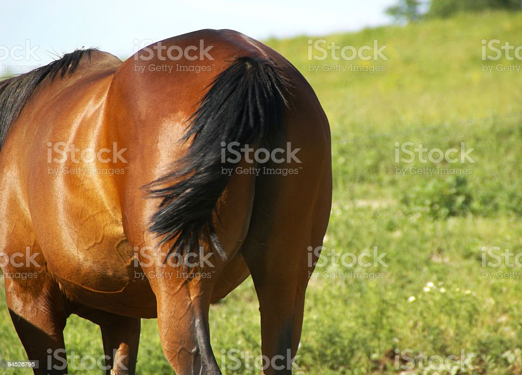Horses Hind End royalty-free stock photo
