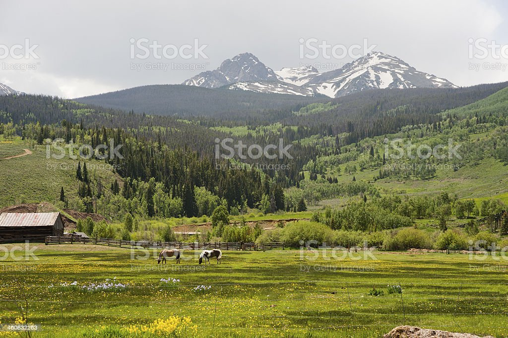 Horses in a Field of Flowers stock photo