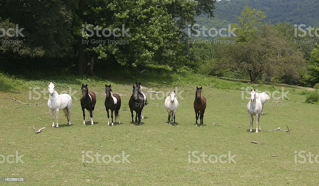 Horses in a line. royalty-free stock photo