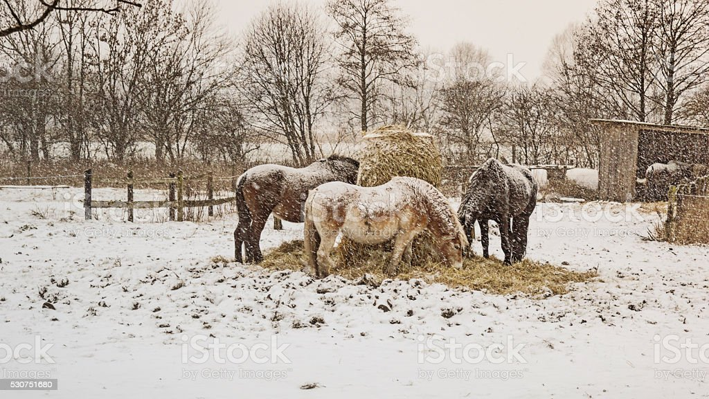Horses in a snowstorm stock photo
