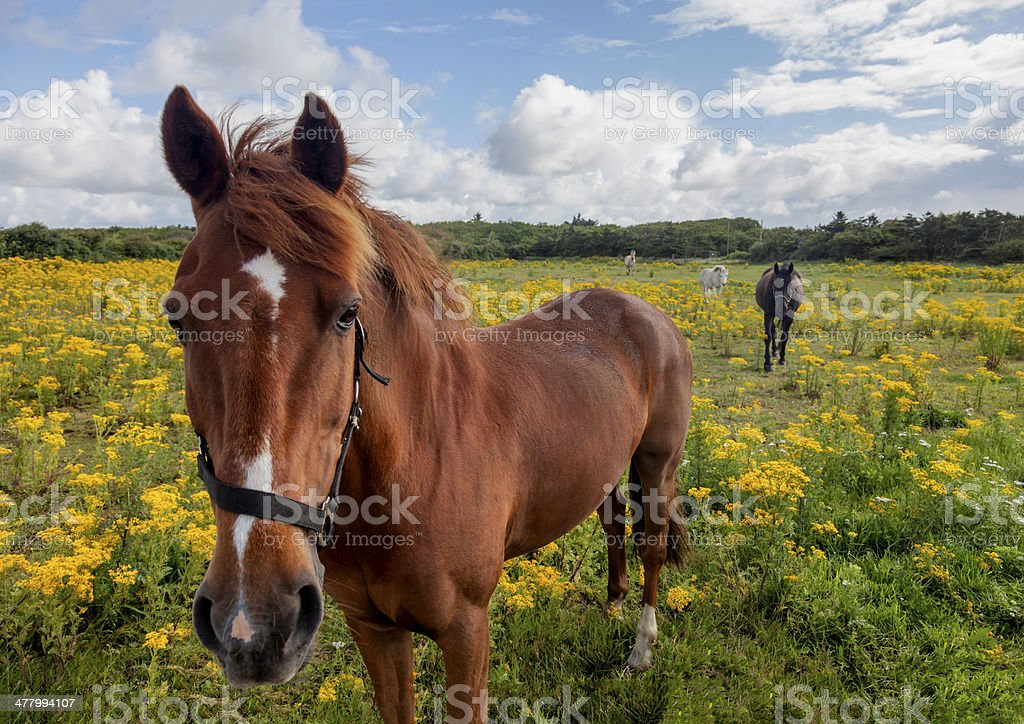 Horses in a tansy summer field royalty-free stock photo