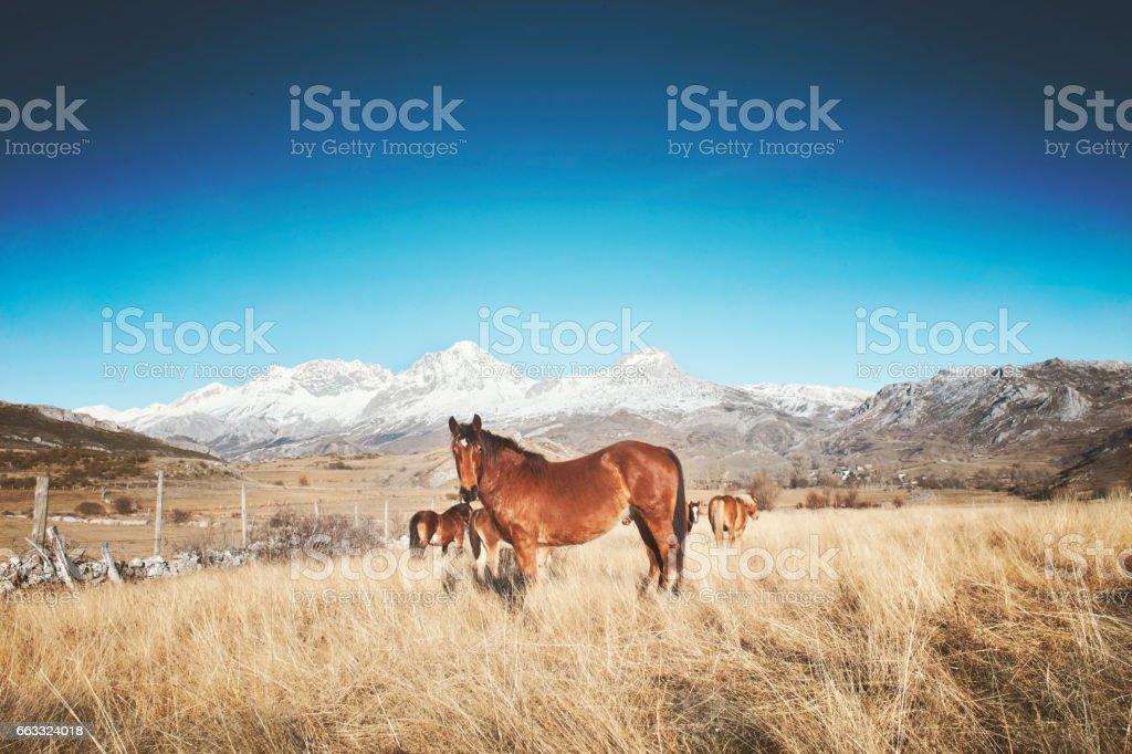 Horses in an arid landscape with snowy mountains stock photo