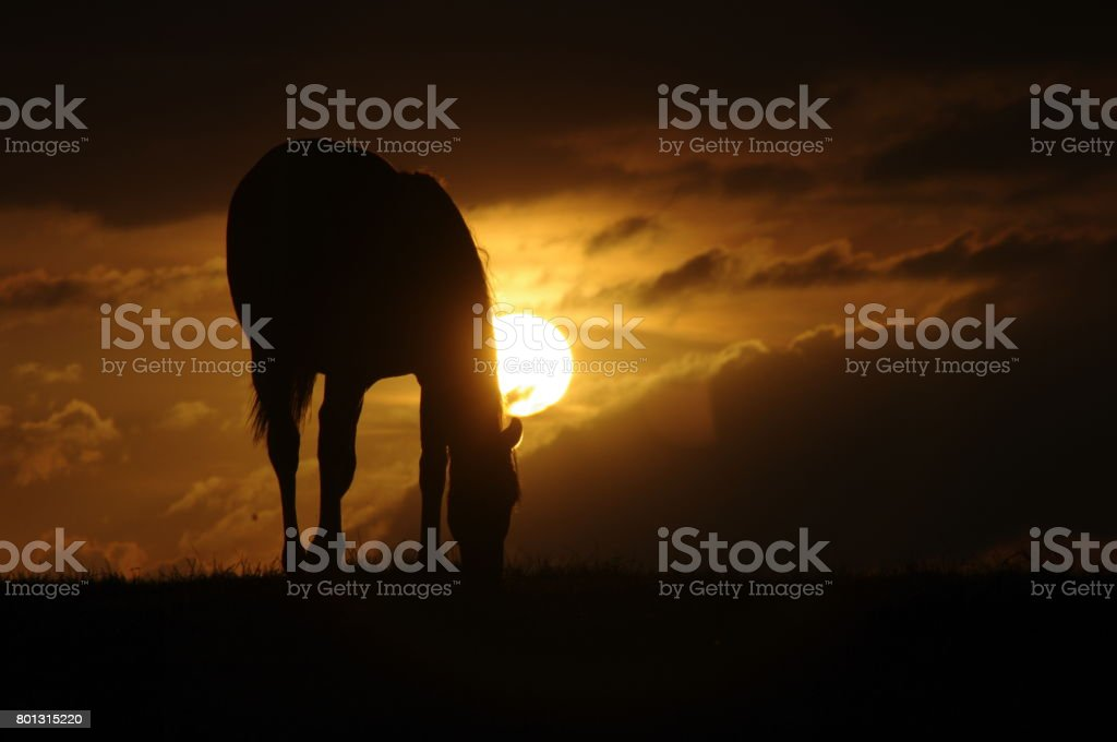 Horses in beautiful silhouette stock photo