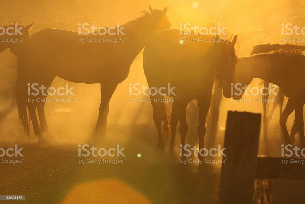 Horses in dust stock photo