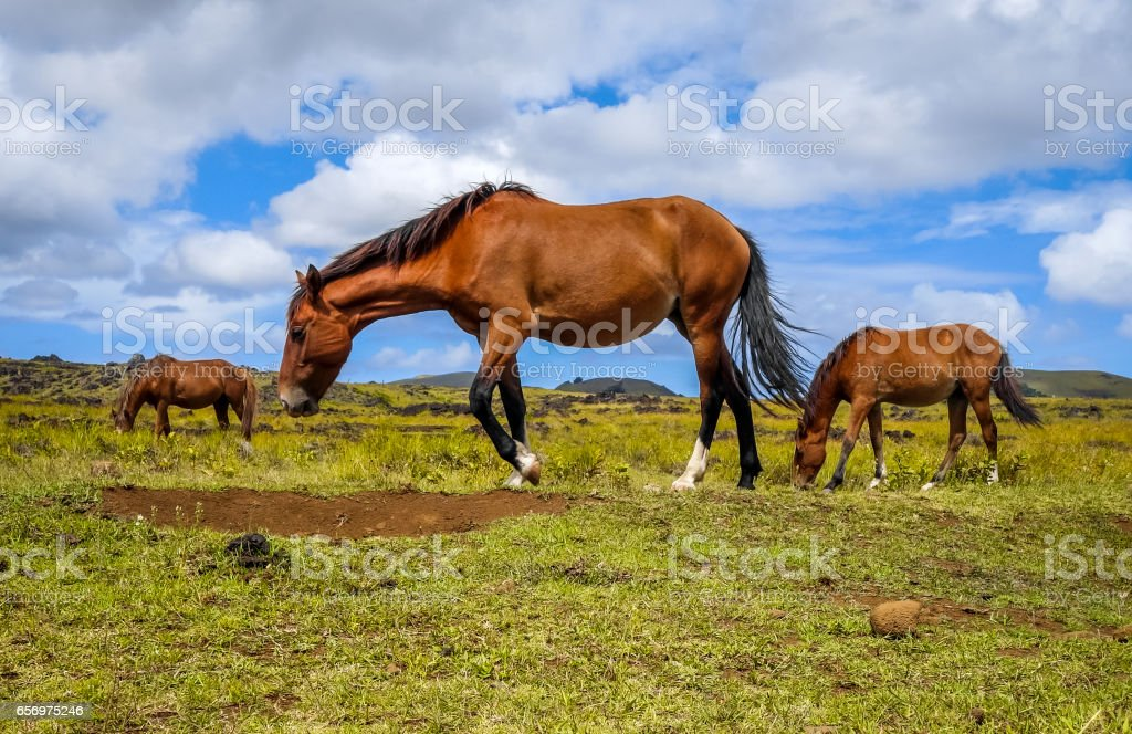 Horses in easter island field stock photo