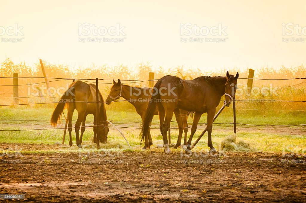 Horses in haras on morning light stock photo