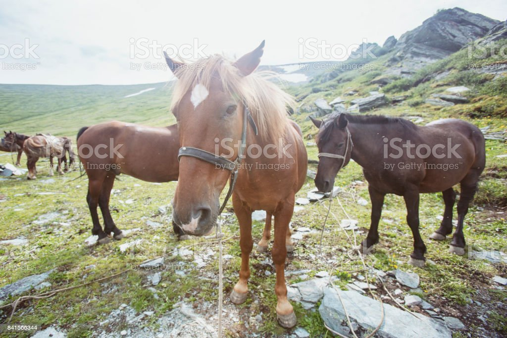 Horses in highland of Altai mountains. stock photo