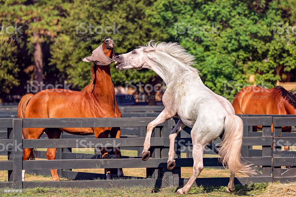 Horses in Hilton Head Island stock photo