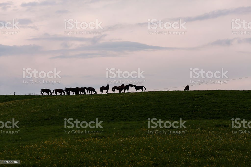 Horses in line royalty-free stock photo
