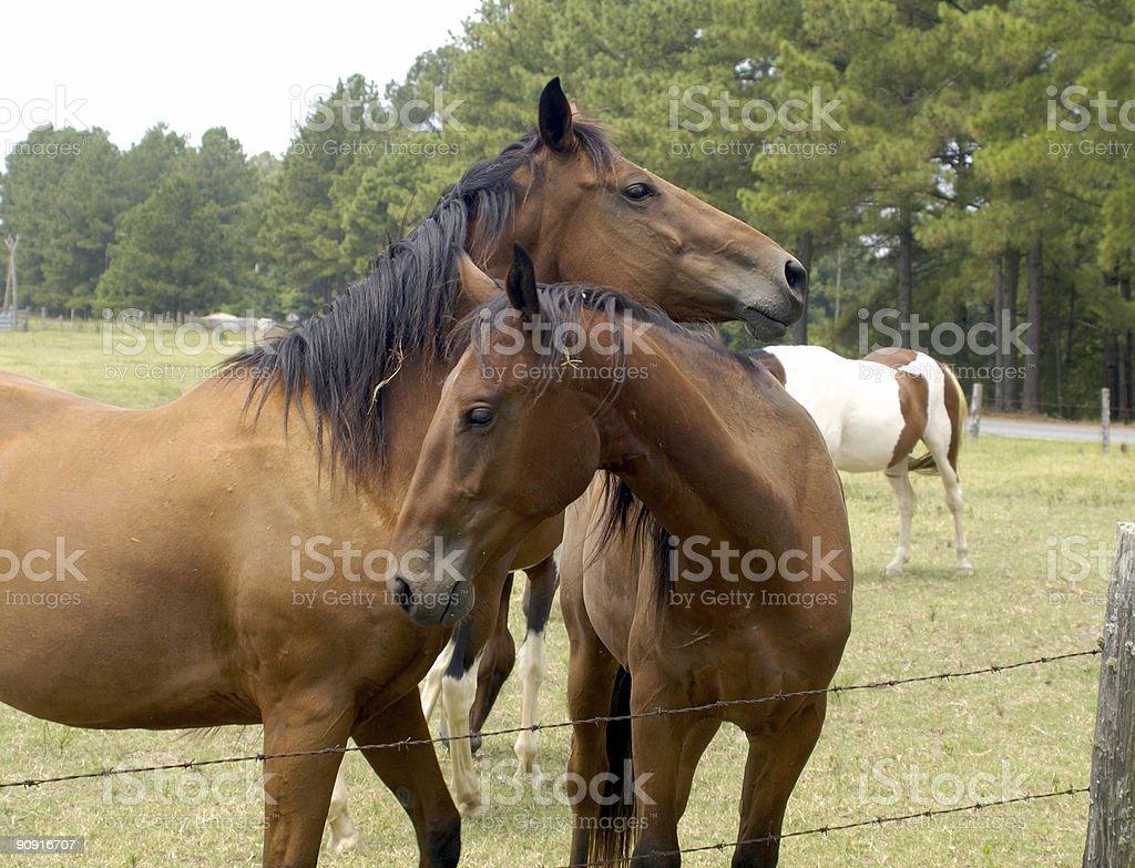 horses in love royalty-free stock photo