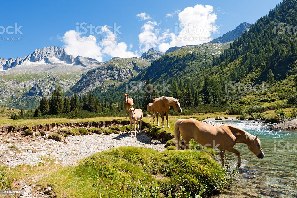Horses in National Park of Adamello Brenta - Italy stock photo
