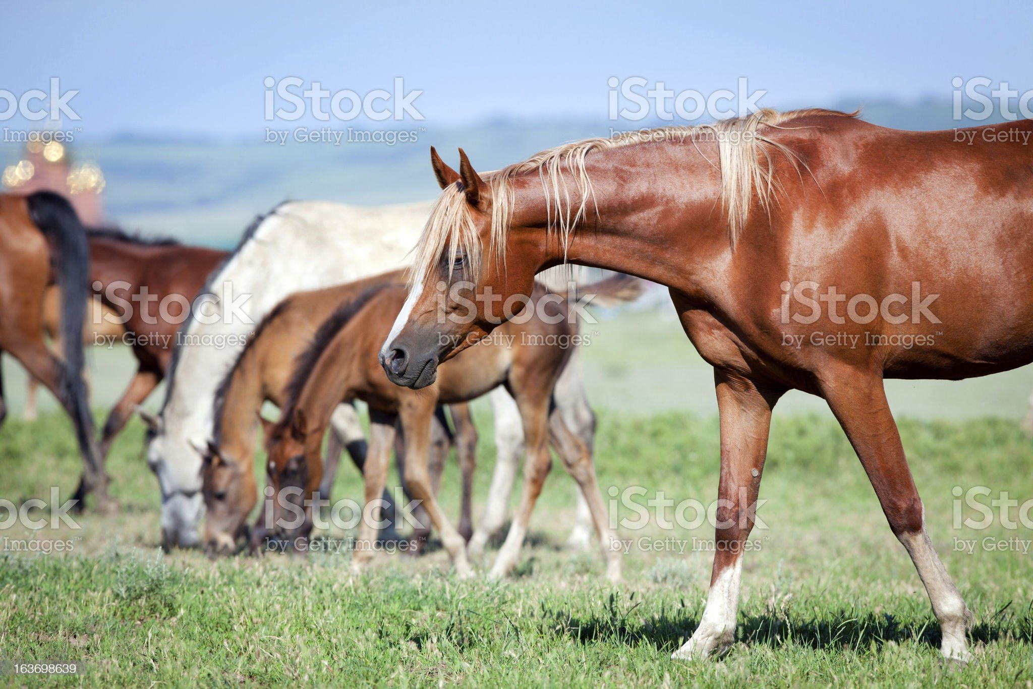 Horses in pasture royalty-free stock photo
