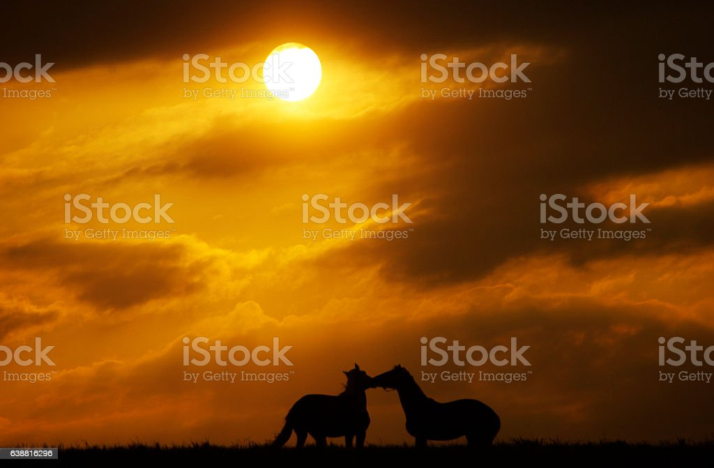 Horses in silhouette at sunset stock photo