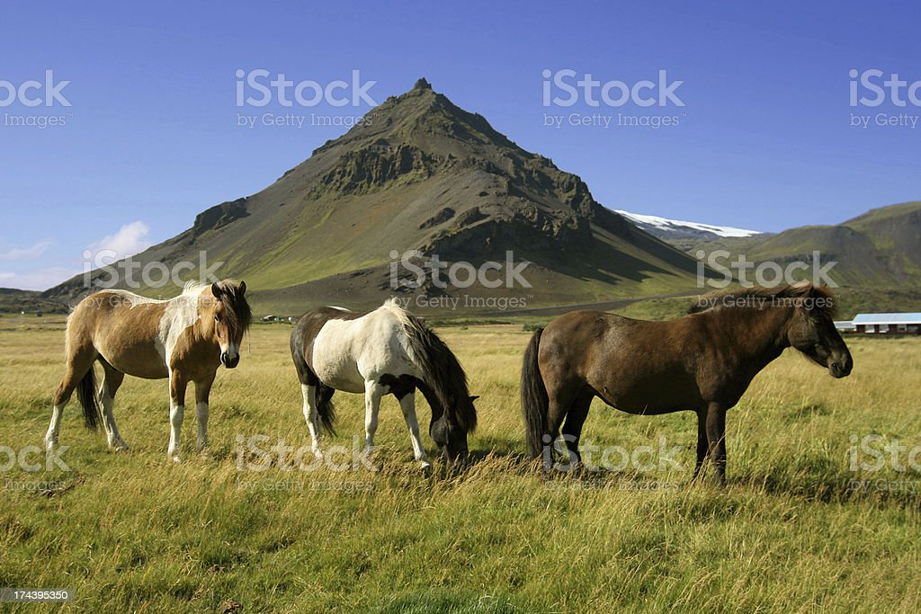 Horses in Snaefellsnes stock photo