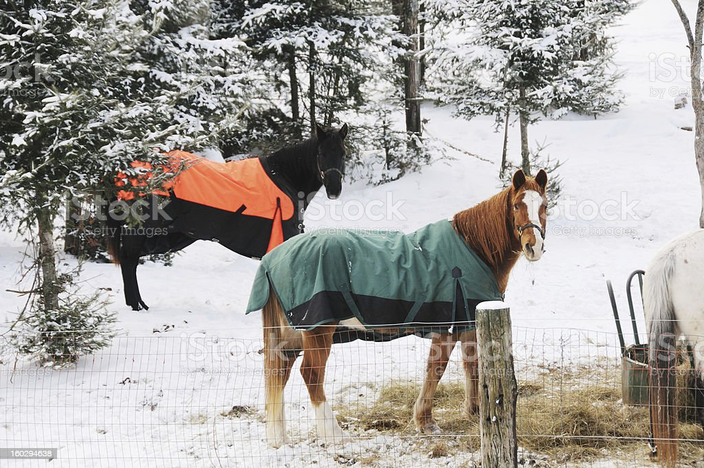 Horses in Snow royalty-free stock photo