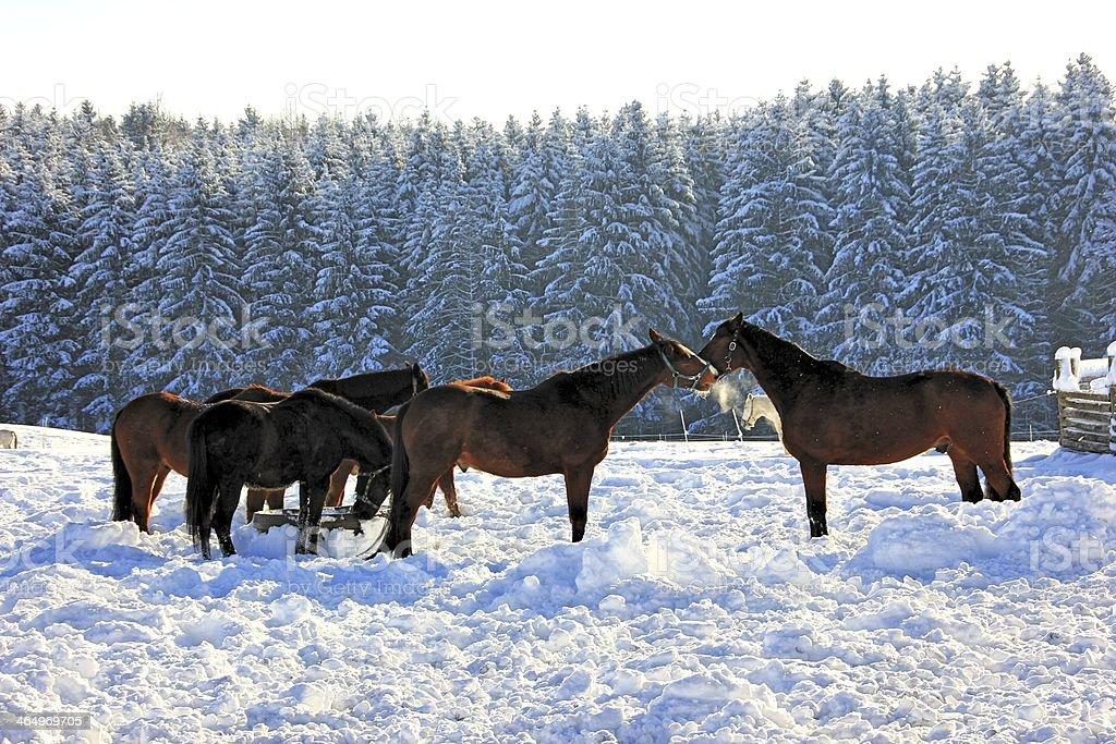 Horses in Snow stock photo