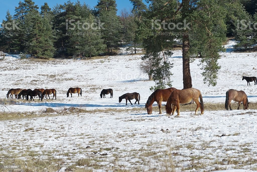 Horses in snowy rolling meadow royalty-free stock photo
