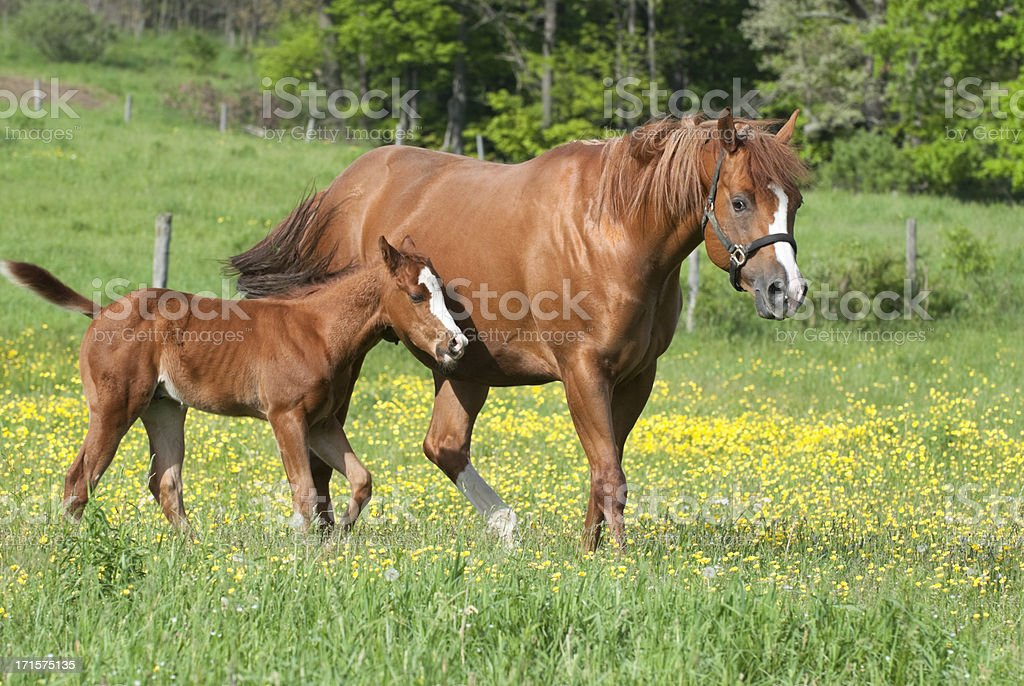 Horses in Spring Buttercup Field, Mare with Her Young Foal royalty-free stock photo