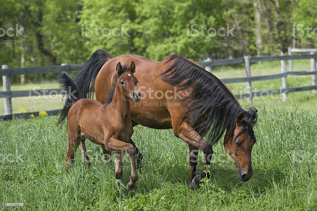 Horses in Summer Pasture, Arabian Mare and Foal Moving stock photo