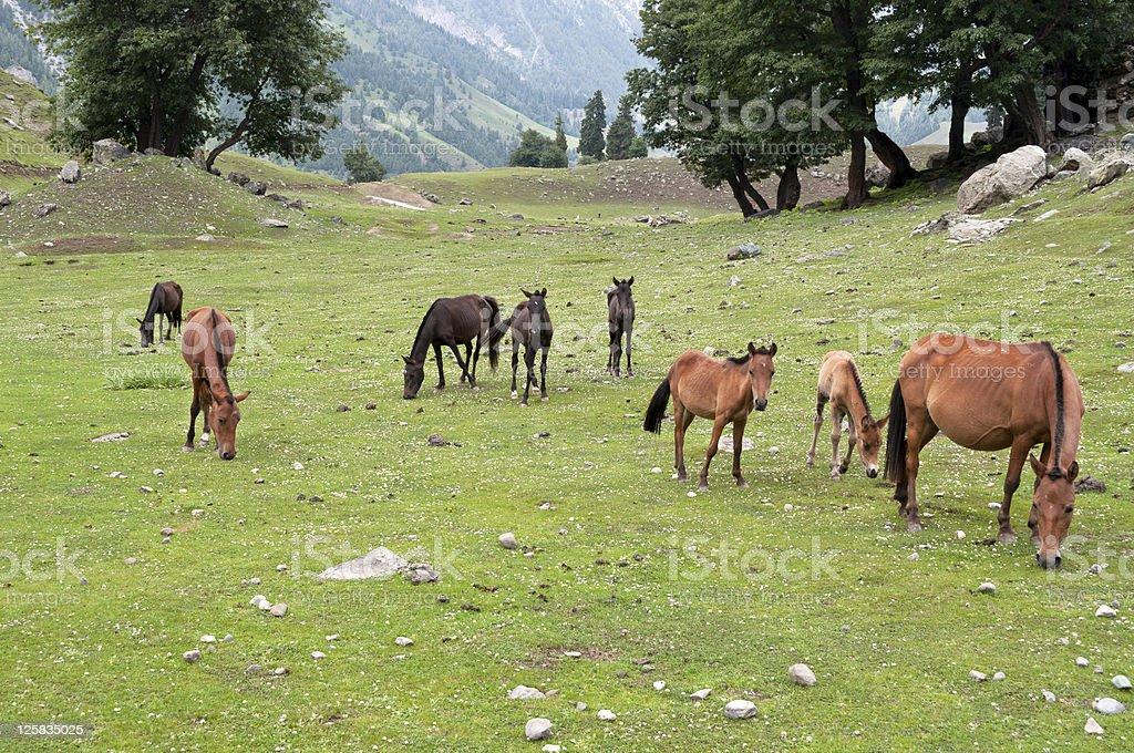 Horses in Thajiwas Valley Kashmir Mountains royalty-free stock photo