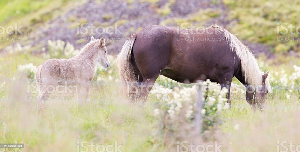 Horses in the fields of Iceland stock photo