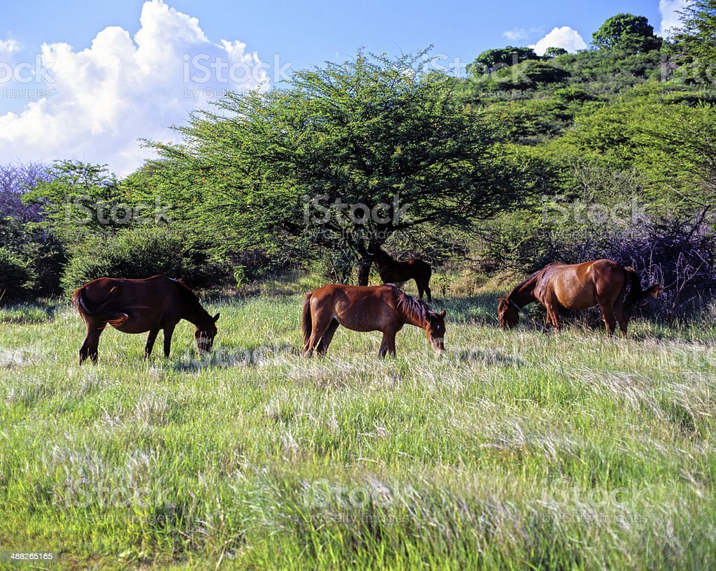 Horses in the Mount Hartman National Park of Grenada royalty-free stock photo