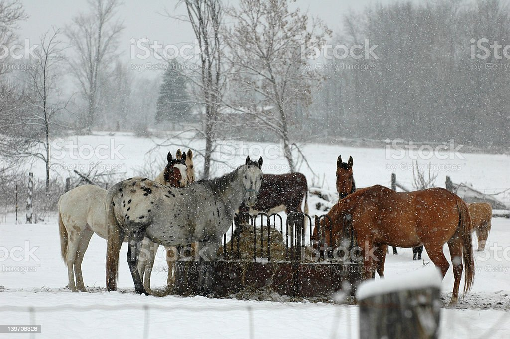 Horse's in the snow royalty-free stock photo
